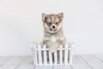 puppy99 week7 BowTiePomsky.com Bowtie Pomsky Puppy For Sale Husky Pomeranian Mini Dog Spokane WA Breeder Blue Eyes Pomskies Celebrity Puppy web2