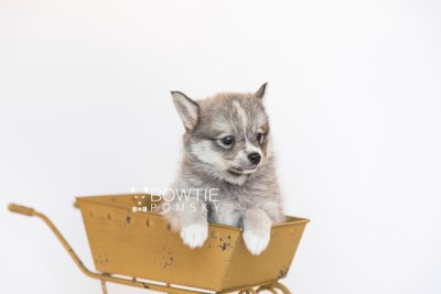 puppy99 week7 BowTiePomsky.com Bowtie Pomsky Puppy For Sale Husky Pomeranian Mini Dog Spokane WA Breeder Blue Eyes Pomskies Celebrity Puppy web4