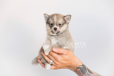 puppy99 week7 BowTiePomsky.com Bowtie Pomsky Puppy For Sale Husky Pomeranian Mini Dog Spokane WA Breeder Blue Eyes Pomskies Celebrity Puppy web6