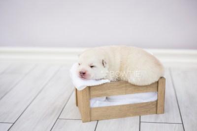 puppy104 week1 BowTiePomsky.com Bowtie Pomsky Puppy For Sale Husky Pomeranian Mini Dog Spokane WA Breeder Blue Eyes Pomskies Celebrity Puppy web7