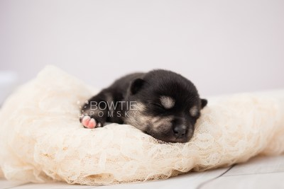 puppy105 week1 BowTiePomsky.com Bowtie Pomsky Puppy For Sale Husky Pomeranian Mini Dog Spokane WA Breeder Blue Eyes Pomskies Celebrity Puppy web2