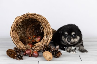 puppy105 week3 BowTiePomsky.com Bowtie Pomsky Puppy For Sale Husky Pomeranian Mini Dog Spokane WA Breeder Blue Eyes Pomskies Celebrity Puppy web1