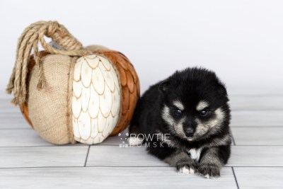 puppy105 week3 BowTiePomsky.com Bowtie Pomsky Puppy For Sale Husky Pomeranian Mini Dog Spokane WA Breeder Blue Eyes Pomskies Celebrity Puppy web3