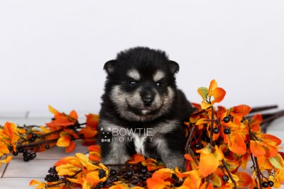 puppy105 week3 BowTiePomsky.com Bowtie Pomsky Puppy For Sale Husky Pomeranian Mini Dog Spokane WA Breeder Blue Eyes Pomskies Celebrity Puppy web5