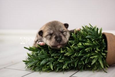 puppy106 week1 BowTiePomsky.com Bowtie Pomsky Puppy For Sale Husky Pomeranian Mini Dog Spokane WA Breeder Blue Eyes Pomskies Celebrity Puppy web2