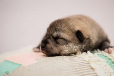 puppy106 week1 BowTiePomsky.com Bowtie Pomsky Puppy For Sale Husky Pomeranian Mini Dog Spokane WA Breeder Blue Eyes Pomskies Celebrity Puppy web5