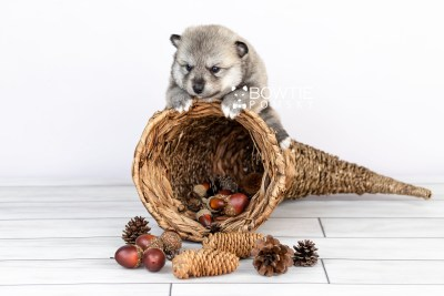 puppy106 week3 BowTiePomsky.com Bowtie Pomsky Puppy For Sale Husky Pomeranian Mini Dog Spokane WA Breeder Blue Eyes Pomskies Celebrity Puppy web3