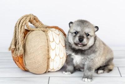 puppy106 week3 BowTiePomsky.com Bowtie Pomsky Puppy For Sale Husky Pomeranian Mini Dog Spokane WA Breeder Blue Eyes Pomskies Celebrity Puppy web4