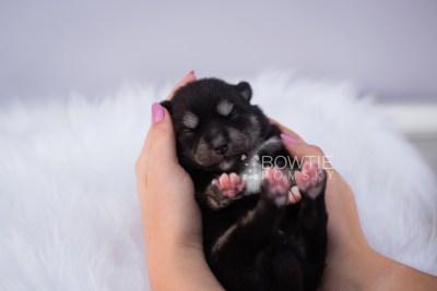 puppy107 week1 BowTiePomsky.com Bowtie Pomsky Puppy For Sale Husky Pomeranian Mini Dog Spokane WA Breeder Blue Eyes Pomskies Celebrity Puppy web1