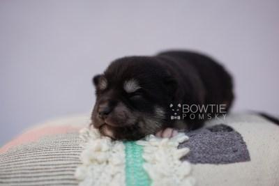 puppy107 week1 BowTiePomsky.com Bowtie Pomsky Puppy For Sale Husky Pomeranian Mini Dog Spokane WA Breeder Blue Eyes Pomskies Celebrity Puppy web4