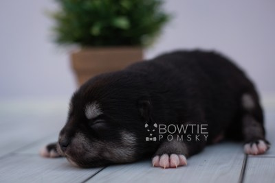 puppy107 week1 BowTiePomsky.com Bowtie Pomsky Puppy For Sale Husky Pomeranian Mini Dog Spokane WA Breeder Blue Eyes Pomskies Celebrity Puppy web5