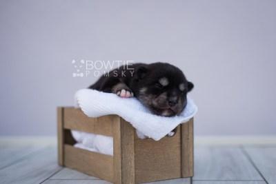 puppy107 week1 BowTiePomsky.com Bowtie Pomsky Puppy For Sale Husky Pomeranian Mini Dog Spokane WA Breeder Blue Eyes Pomskies Celebrity Puppy web6