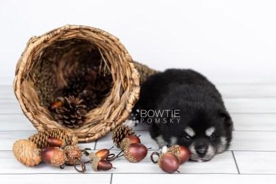 puppy107 week3 BowTiePomsky.com Bowtie Pomsky Puppy For Sale Husky Pomeranian Mini Dog Spokane WA Breeder Blue Eyes Pomskies Celebrity Puppy web1