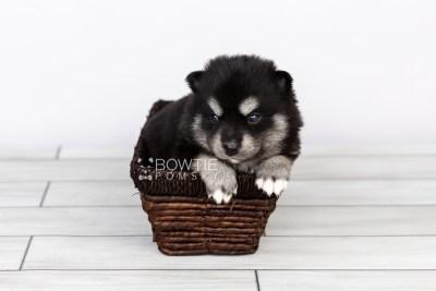 puppy107 week3 BowTiePomsky.com Bowtie Pomsky Puppy For Sale Husky Pomeranian Mini Dog Spokane WA Breeder Blue Eyes Pomskies Celebrity Puppy web2