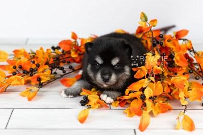 puppy107 week3 BowTiePomsky.com Bowtie Pomsky Puppy For Sale Husky Pomeranian Mini Dog Spokane WA Breeder Blue Eyes Pomskies Celebrity Puppy web4