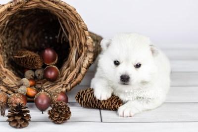 puppy108 week3 BowTiePomsky.com Bowtie Pomsky Puppy For Sale Husky Pomeranian Mini Dog Spokane WA Breeder Blue Eyes Pomskies Celebrity Puppy web2