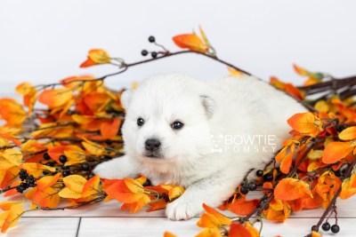 puppy108 week3 BowTiePomsky.com Bowtie Pomsky Puppy For Sale Husky Pomeranian Mini Dog Spokane WA Breeder Blue Eyes Pomskies Celebrity Puppy web5