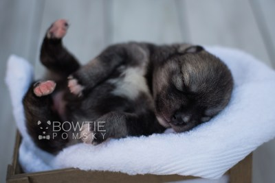 puppy109 week1 BowTiePomsky.com Bowtie Pomsky Puppy For Sale Husky Pomeranian Mini Dog Spokane WA Breeder Blue Eyes Pomskies Celebrity Puppy web1