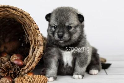 puppy109 week3 BowTiePomsky.com Bowtie Pomsky Puppy For Sale Husky Pomeranian Mini Dog Spokane WA Breeder Blue Eyes Pomskies Celebrity Puppy web3