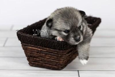 puppy109 week3 BowTiePomsky.com Bowtie Pomsky Puppy For Sale Husky Pomeranian Mini Dog Spokane WA Breeder Blue Eyes Pomskies Celebrity Puppy web4