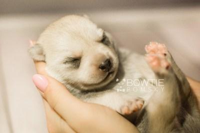 puppy110 week1 BowTiePomsky.com Bowtie Pomsky Puppy For Sale Husky Pomeranian Mini Dog Spokane WA Breeder Blue Eyes Pomskies Celebrity Puppy web1