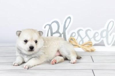 puppy110 week3 BowTiePomsky.com Bowtie Pomsky Puppy For Sale Husky Pomeranian Mini Dog Spokane WA Breeder Blue Eyes Pomskies Celebrity Puppy web5
