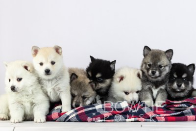 puppy104-110 week5 BowTiePomsky.com Bowtie Pomsky Puppy For Sale Husky Pomeranian Mini Dog Spokane WA Breeder Blue Eyes Pomskies Celebrity Puppy web2