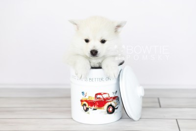 puppy104 week5 BowTiePomsky.com Bowtie Pomsky Puppy For Sale Husky Pomeranian Mini Dog Spokane WA Breeder Blue Eyes Pomskies Celebrity Puppy web3