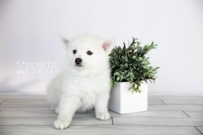 puppy104 week7 BowTiePomsky.com Bowtie Pomsky Puppy For Sale Husky Pomeranian Mini Dog Spokane WA Breeder Blue Eyes Pomskies Celebrity Puppy web3