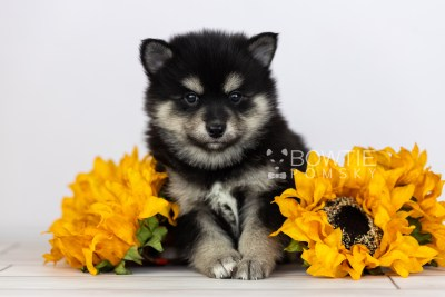 puppy105 week5 BowTiePomsky.com Bowtie Pomsky Puppy For Sale Husky Pomeranian Mini Dog Spokane WA Breeder Blue Eyes Pomskies Celebrity Puppy web2