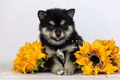 puppy105 week5 BowTiePomsky.com Bowtie Pomsky Puppy For Sale Husky Pomeranian Mini Dog Spokane WA Breeder Blue Eyes Pomskies Celebrity Puppy web2