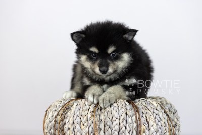puppy105 week5 BowTiePomsky.com Bowtie Pomsky Puppy For Sale Husky Pomeranian Mini Dog Spokane WA Breeder Blue Eyes Pomskies Celebrity Puppy web4