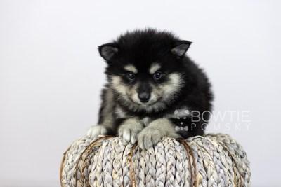 puppy105 week5 BowTiePomsky.com Bowtie Pomsky Puppy For Sale Husky Pomeranian Mini Dog Spokane WA Breeder Blue Eyes Pomskies Celebrity Puppy web4