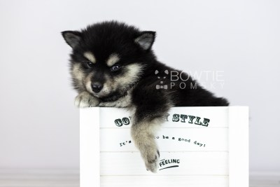 puppy105 week5 BowTiePomsky.com Bowtie Pomsky Puppy For Sale Husky Pomeranian Mini Dog Spokane WA Breeder Blue Eyes Pomskies Celebrity Puppy web5