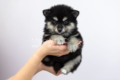 puppy105 week5 BowTiePomsky.com Bowtie Pomsky Puppy For Sale Husky Pomeranian Mini Dog Spokane WA Breeder Blue Eyes Pomskies Celebrity Puppy web6