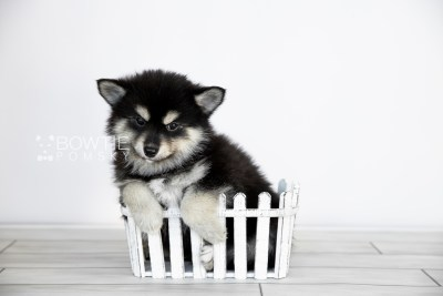 puppy105 week7 BowTiePomsky.com Bowtie Pomsky Puppy For Sale Husky Pomeranian Mini Dog Spokane WA Breeder Blue Eyes Pomskies Celebrity Puppy web2