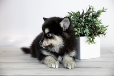 puppy105 week7 BowTiePomsky.com Bowtie Pomsky Puppy For Sale Husky Pomeranian Mini Dog Spokane WA Breeder Blue Eyes Pomskies Celebrity Puppy web3