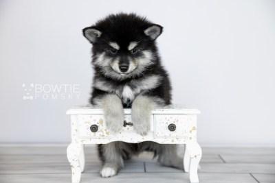 puppy105 week7 BowTiePomsky.com Bowtie Pomsky Puppy For Sale Husky Pomeranian Mini Dog Spokane WA Breeder Blue Eyes Pomskies Celebrity Puppy web4
