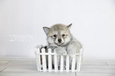 puppy106 week7 BowTiePomsky.com Bowtie Pomsky Puppy For Sale Husky Pomeranian Mini Dog Spokane WA Breeder Blue Eyes Pomskies Celebrity Puppy web2