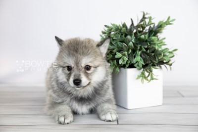 puppy106 week7 BowTiePomsky.com Bowtie Pomsky Puppy For Sale Husky Pomeranian Mini Dog Spokane WA Breeder Blue Eyes Pomskies Celebrity Puppy web3