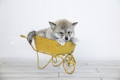 puppy106 week7 BowTiePomsky.com Bowtie Pomsky Puppy For Sale Husky Pomeranian Mini Dog Spokane WA Breeder Blue Eyes Pomskies Celebrity Puppy web5