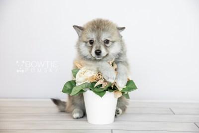puppy106 week7 BowTiePomsky.com Bowtie Pomsky Puppy For Sale Husky Pomeranian Mini Dog Spokane WA Breeder Blue Eyes Pomskies Celebrity Puppy web6