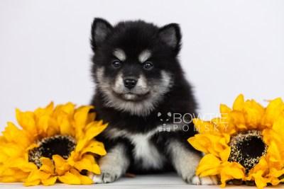 puppy107 week5 BowTiePomsky.com Bowtie Pomsky Puppy For Sale Husky Pomeranian Mini Dog Spokane WA Breeder Blue Eyes Pomskies Celebrity Puppy web2