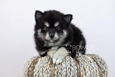 puppy107 week5 BowTiePomsky.com Bowtie Pomsky Puppy For Sale Husky Pomeranian Mini Dog Spokane WA Breeder Blue Eyes Pomskies Celebrity Puppy web4