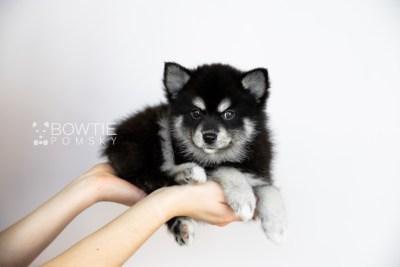 puppy107 week7 BowTiePomsky.com Bowtie Pomsky Puppy For Sale Husky Pomeranian Mini Dog Spokane WA Breeder Blue Eyes Pomskies Celebrity Puppy web1