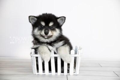puppy107 week7 BowTiePomsky.com Bowtie Pomsky Puppy For Sale Husky Pomeranian Mini Dog Spokane WA Breeder Blue Eyes Pomskies Celebrity Puppy web2