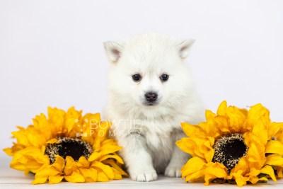puppy108 week5 BowTiePomsky.com Bowtie Pomsky Puppy For Sale Husky Pomeranian Mini Dog Spokane WA Breeder Blue Eyes Pomskies Celebrity Puppy web2