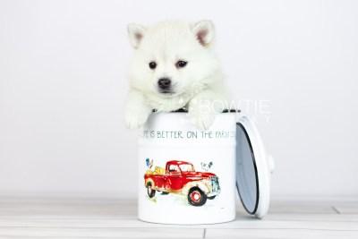 puppy108 week5 BowTiePomsky.com Bowtie Pomsky Puppy For Sale Husky Pomeranian Mini Dog Spokane WA Breeder Blue Eyes Pomskies Celebrity Puppy web3