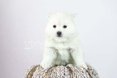 puppy108 week5 BowTiePomsky.com Bowtie Pomsky Puppy For Sale Husky Pomeranian Mini Dog Spokane WA Breeder Blue Eyes Pomskies Celebrity Puppy web4