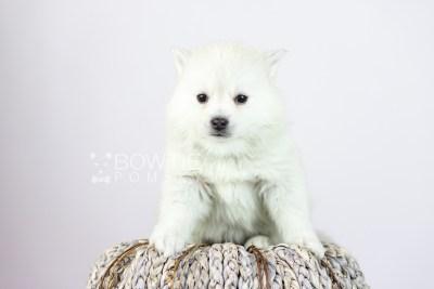 puppy108 week5 BowTiePomsky.com Bowtie Pomsky Puppy For Sale Husky Pomeranian Mini Dog Spokane WA Breeder Blue Eyes Pomskies Celebrity Puppy web4